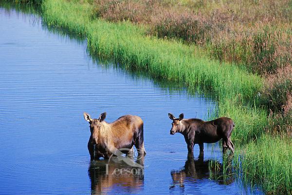 MM97  Cow and calf moose, Alaska, Summer.