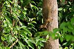 Plantain Squirrel (Callosciurus notatus) climbing down tree, Tawau Hills Park, Sabah, Borneo, Malaysia
