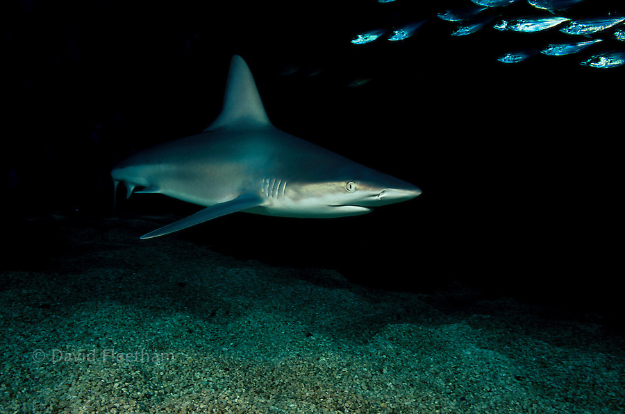 Sandbar sharks, Carcharhinus plumbeus,  are recognizable by their dorsal fins which are large in ratio to their length.  Hawaii.