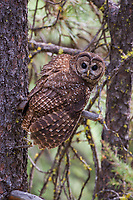 A Northern Spotted Owl turns to hunt.