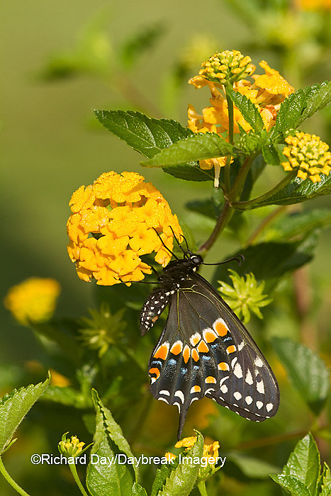 03009-01716 Black Swallowtail butterfly (Papilio polyxenes) male on New Gold Lantana (Lantana camara) Marion Co., IL