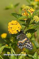 03009-01716 Black Swallowtail butterfly (Papilio polyxenes) male on New Gold Lantana (Lantana camara) Marion Co., IL