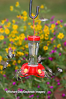 01162-12615 Ruby-throated Hummingbirds (Archilochus colubris) at feeder near flower garden,  Marion Co.  IL