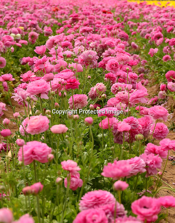 Royalty Free Images of Field of beautiful flowers of ranunculus