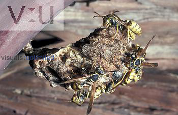 Polybline Wasp (Mischocyttarus flavitarsus) Yellow-legged Wasp