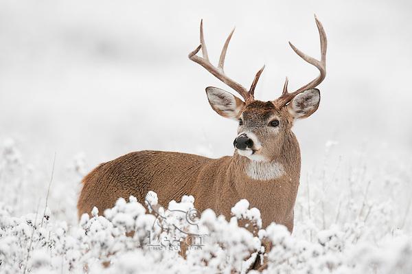 White-tailed Deer Buck (Odocoileus virginianus) in fresh snow.