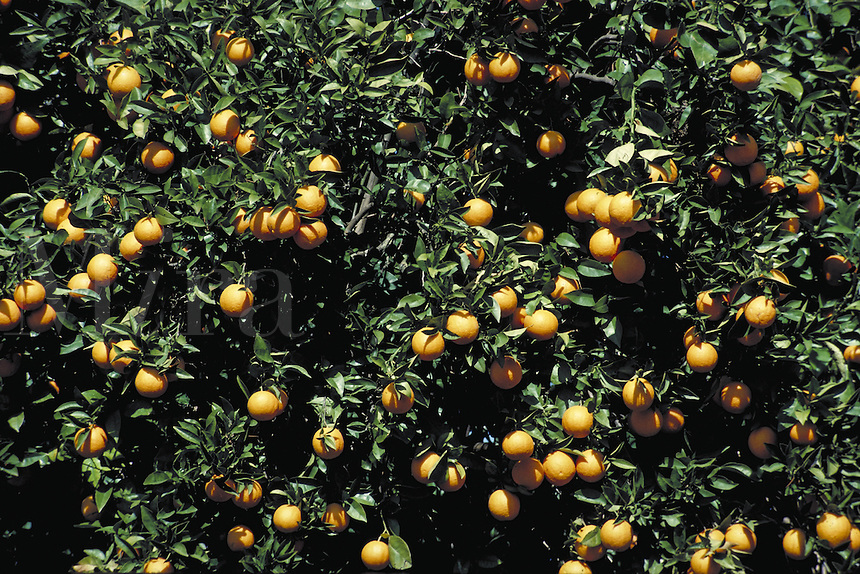 oranges on orange tree branches.  fruit, orchard, grove, vitamin C, citrus, agriculture, grower. Lindsay California.