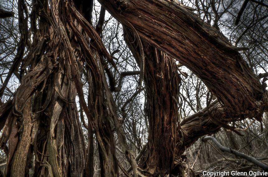Wold grape vines at Perch Creek Nature Habitat