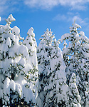 USA, California, Sierra Nevada Mountains.   Snow covered trees in the Sierras.