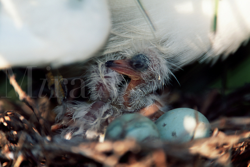 A newly hatched Snowy egret (E. thula) is potected by an adult and surrounded by unhatched eggs.