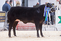 North Wales Show Potential sale at Ruthin Farmers auction Company,Ruthin,North Wales <br /> Lot 9 Reserve Overall Champion owned by J M &amp; A M Lewis sold for &pound;4000.00<br /> Picture Tim Scrivener 07850 303986<br /> &hellip;.covering agriculture in the UK&hellip;.