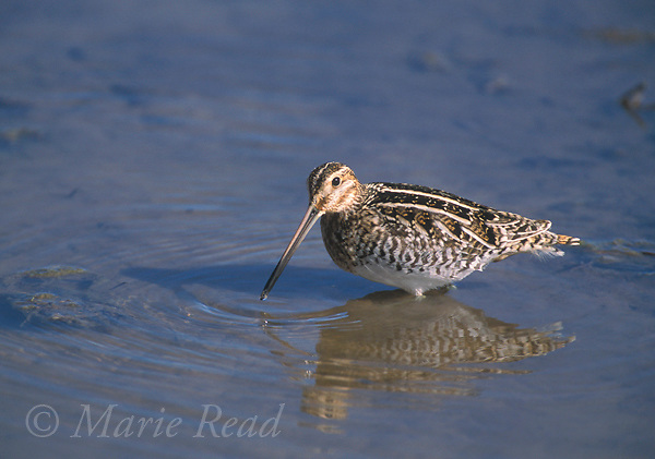 Wilson's Snipe (formerly Common Snipe) (Gallinago gallinago), Bosque Del Apache National Wildlife Refuge, New Mexico, USA<br /> Slide # B53-241