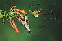Booted Racket-tail(Ocreatus underwoodii),Andean Emerald ( Amazilia franciae),adults feeding on flower,Mindo, Ecuador, Andes, South America