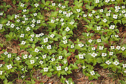 Bunchberry Dogwood -Cornus canadensis- in the White Mountains, New Hampshire USA