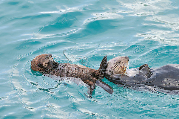 Alaskan or Northern Sea Otter (Enhydra lutris) mother with pup.  Pup is eating food its mother has retrieved from the ocean floor.  The pup is still too young to dive and is just starting to eat solid food.  The mother when diving for food and leaving the pup floating on the surface will always come and touch the pup between dives.
