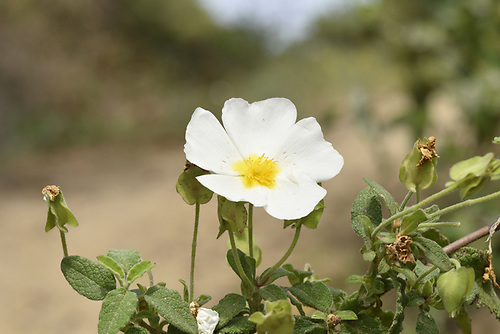 Sage-leaved Cistus - Cistus salvifolius