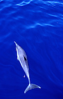 A Dolphin cruising graceful through the waters of Palau, Micronesia