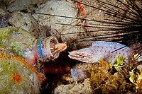 barred-fin moray, or bar-tail moray, Gymnothorax zonipectis, living in an abandoned bottle, Raja Ampat, West Papua, Indonesia, Indo-Pacific Ocean