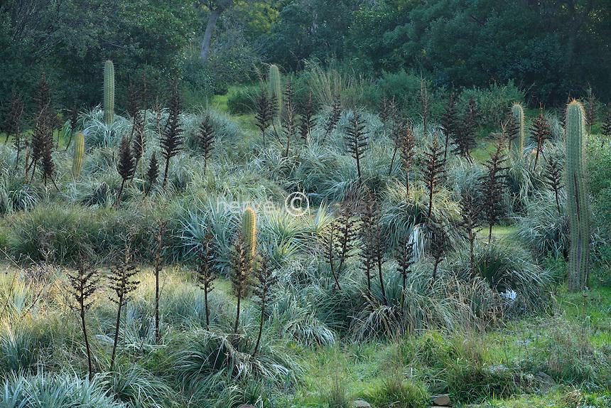 Le domaine du Rayol en f&eacute;vrier : le jardin chilien avec des puyas (Puya berteroniana &amp; Puya alpestris) et cact&eacute;es quisco (Echinopsis chiloensis).<br /> <br /> (mention obligatoire du nom du jardin &amp; pas d'usage publicitaire sans autorisation pr&eacute;alable)