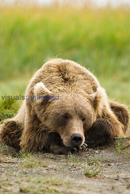 Grizzly Bear (Ursus arctos horibilis), Katmai National Park, Alaska, USA.