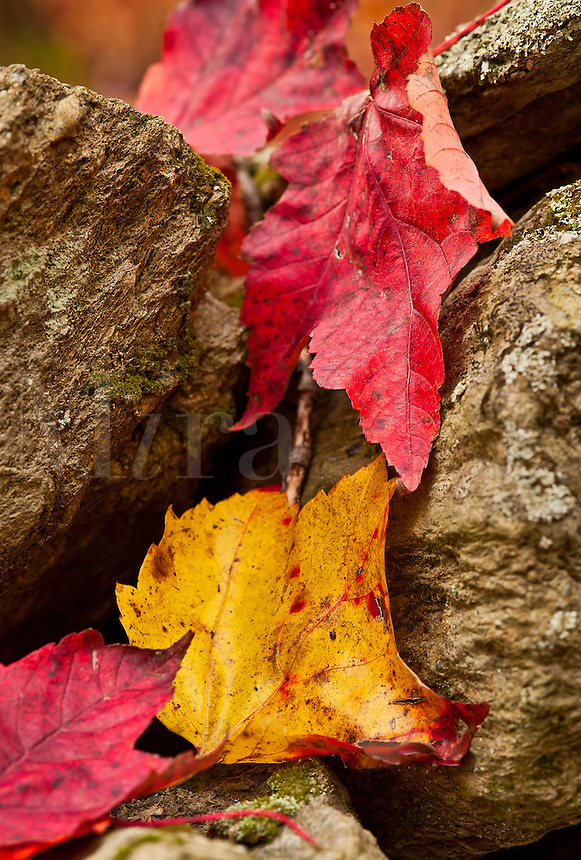 Field stones and autumn leaves, Vermont, VT, USA