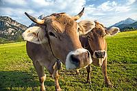 Bavarian Dairy Cows, Fuzzen Germany