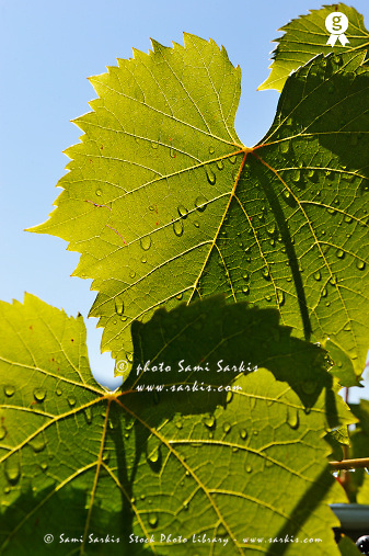 Water drops on vine leaf after rain (Licence this image exclusively with Getty: http://www.gettyimages.com/detail/107102169 )