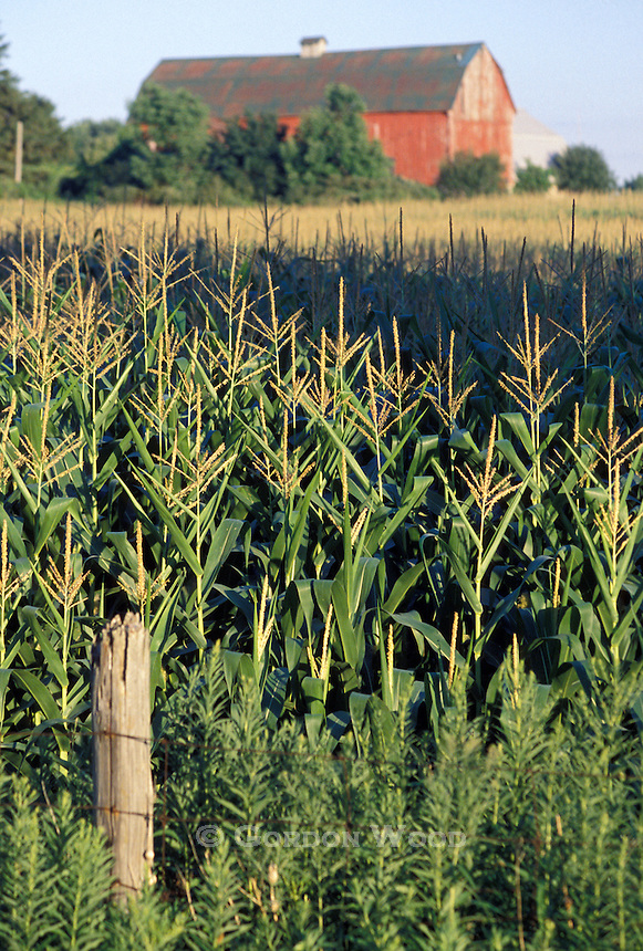 Corn Stalks, Barn out of focus in background, fence in foreground