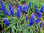 Blue Lupine