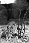 coyote rest, Coyote, Canis latrans, prairie wolf, North America, barking dog, coyotl, Animal, wild animals, domestic animals,  Fine Art Photography, Ronald T. Bennett (c) Fine Art Photography by Ron Bennett, Fine Art, Fine Art photography, Art Photography, Copyright RonBennettPhotography.com ©