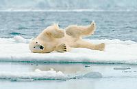 Polar bear (Ursus maritimus) rolling in the snow on ice floe, Svalbard, Norwegian Arctic, Norway, Europe