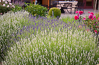 Herb garden border with blue and white flowering lavender (Lavandula angustifolia) by patio