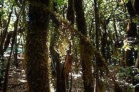 Moss in the sunlight, Parque nacional de Garajonay forests, La Gomera, Canary Islands,Spain