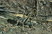 Westliche Beißschrecke, Westliche Beissschrecke, Männchen, Platycleis albopunctata, Platycleis denticulata, Grey Bush Cricket, Grey Bush-Cricket, male, Tettigoniidae