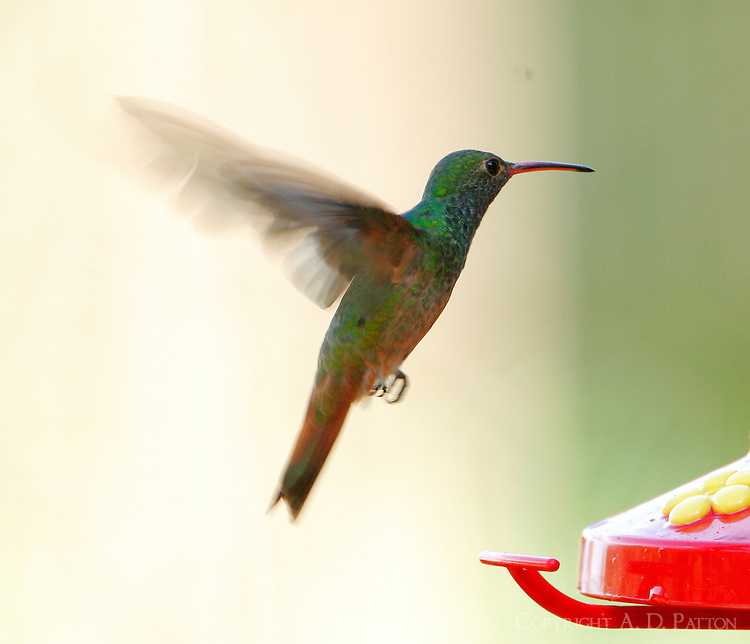 Adult male buff-bellied hummingbird hovering at feeder