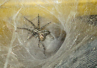 A wolf Spider living in a barn.