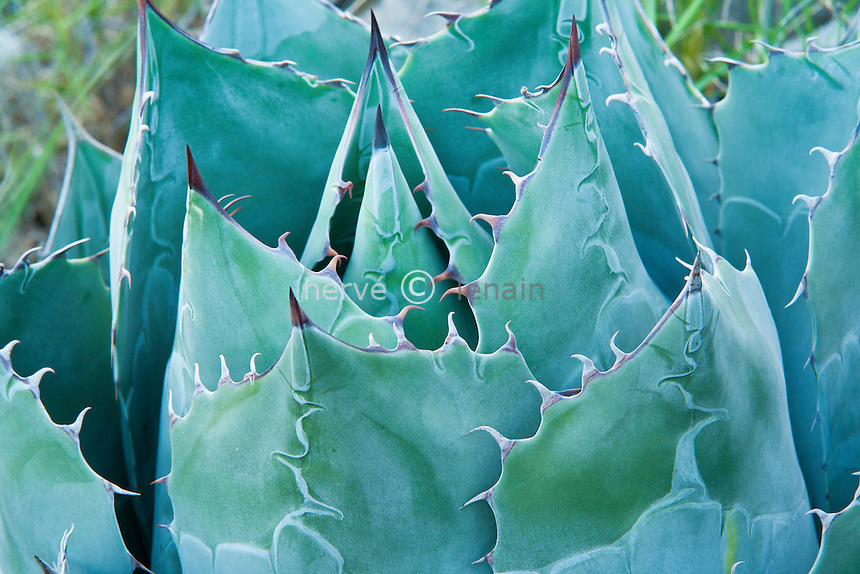 Agave parrasana (= Agave wislizeni ssp. parrasana)