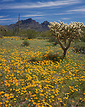 Organ Pipe Cactus National Monument, AZ<br /> Sonoran desert with cholla cactus and field of Mexican gold poppies and Coulter's lupine