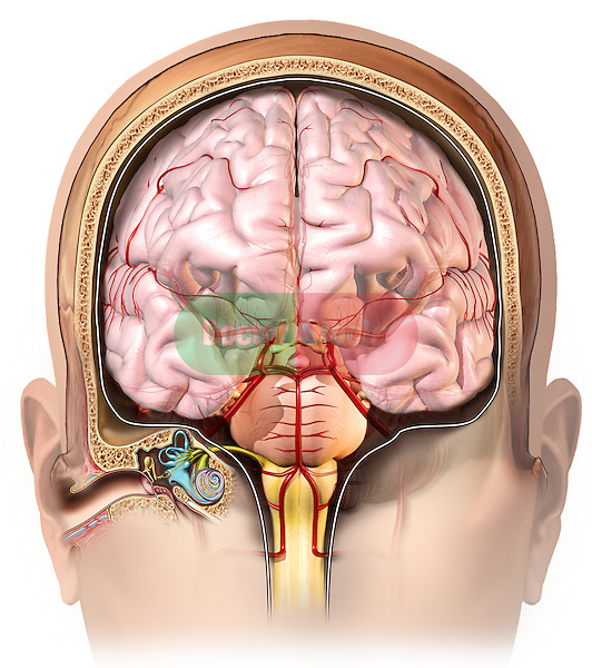 This stock medical image features a coronal (anterior) cut-section through the right ear and brain revealing the path of the vestibulotrochlear nerve from the inner ear to the brainstem as it crosses the meninges and dura.