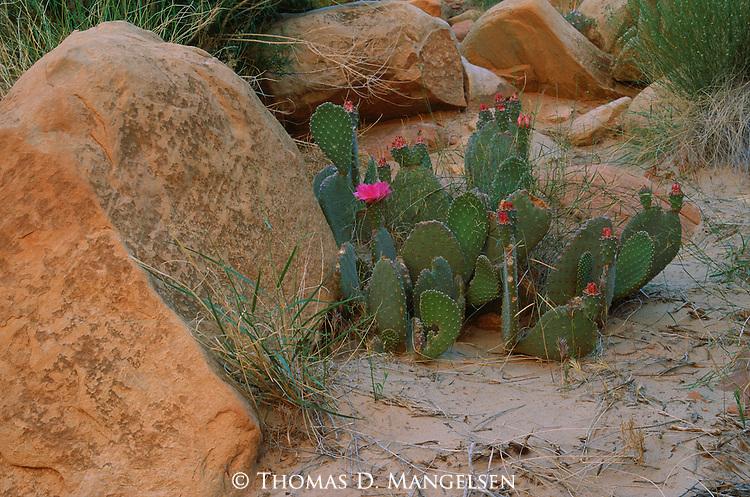 A beavertail cactus blooms  in Grand Canyon National Park, Arizona.