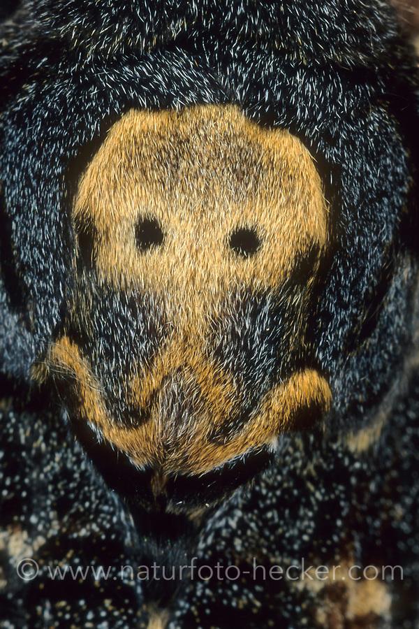 Totenkopfschwärmer, Totenkopf-Schwärmer, Totenkopfähnliche Zeichnung auf dem Rücken, Acherontia atropos, Death's-head Hawk moth, Le Sphinx tête de mort, Schwärmer, Sphingidae, hawkmoths, hawk moths, sphinx moths, sphinx moth, hawk-moths, hawkmoth