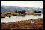 Great egret at Martinez Regional Shoreline