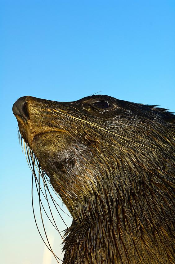 Seal, Walvis Bay (Atlantic Ocean), Swakopmund, Namib Desert, Namibia