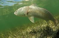 Redfish, Red drum