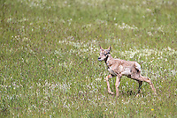 Pronghorn fawns start appearing in Yellowstone in late May.