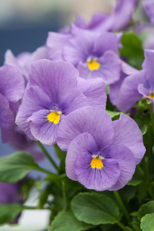Viola 'Floella', shortlisted for Plant of the Year at the RHS Chelsea Flower Show, 2014.