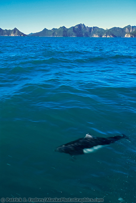 Dall's porpoise, Resurrection Bay, Kenai Fjords National Park, Alaska