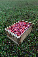Harvested cranberries sitting on a dry bog, Harwich, Cape Cod, Massachusetts, USA.