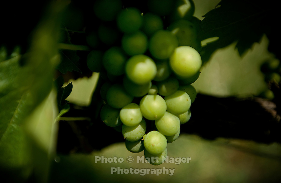 Less known vineyards from the hills around Forlí in the Emilia-Romagna region of Italy offer a good selection of wines grown from Sangiovese grapes. Sangiovese grapes at the Drie Doná vineyard wait to ripen in July...PHOTOS/ MATT NAGER