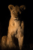 Lion photographed during a night drive at MalaMala.  This female was head of the Eyrefield Pride.